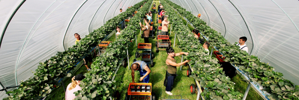 We Have The Most Expensive Strawberry Pickers In The World